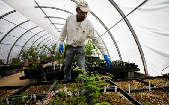 A researcher checks in on cherry blossom plants at the National Arboretum.