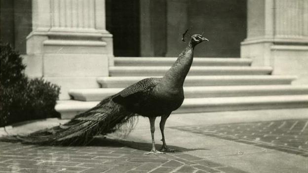 The Peacock Room comes to life: live peacocks used to roam the Freer Gallery's courtyard from 1923 through the 1970s.