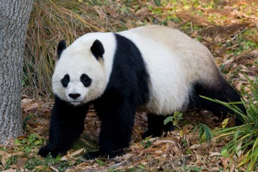 Panda fans can now get their fix anywhere they have cell phone reception.