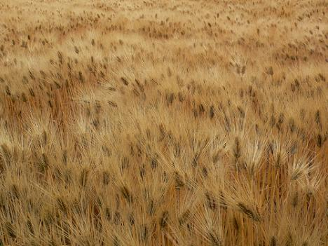 Cover crops such as wheat can soak up extra fertilizer before it runs off into waterways and into the Chesapeake Bay.