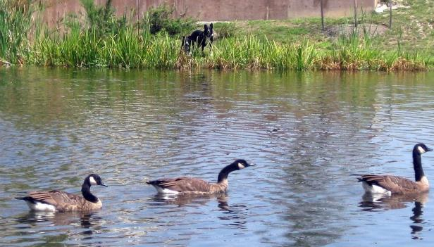 Non-migratory Canada geese are causing a problem for people and the environment.