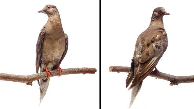 Martha, the world's last passenger pigeon, died in a Cincinnati zoo in 1914. Her stuffed remains are currently on display at the Smithsonian Institution Museum of Natural History as a part of an exhibit on extinct birds of North America.