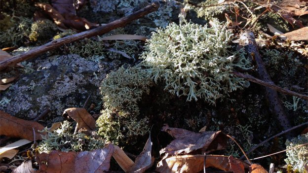 Reindeer lichen is so called because it bears a certain resemblance to reindeer antlers.